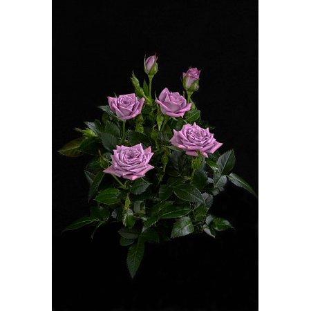 Lavender Veranda 174 Rose Bush Fragrant Hardy 4 Quot Pot
