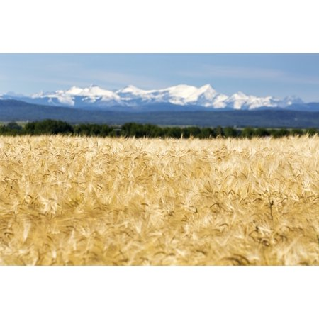 Golden barley field with a row of trees in the distance and snow covered mountains in the background with blue sky Alberta Canada Stretched Canvas - Michael Interisano  Design Pics (19 x 12)