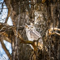 LAMINATED POSTER Camouflage Great Horned Owl Avian Forest Hiking Poster Print 24 x 36