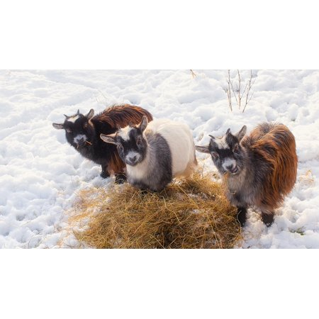 Peel-n-Stick Poster of Hay Goats Animals Trio Livestock Cute Straw Poster 24x16 Adhesive Sticker Poster (Straw Goat)