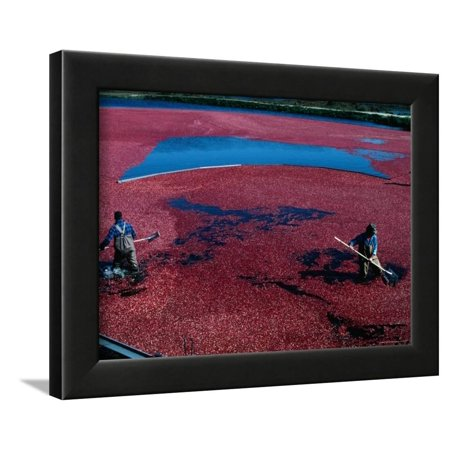 Workers Hard at it During the Cranberry Harvest of Cape Cod Framed Print Wall Art By Kim Grant - Pool City Cranberry