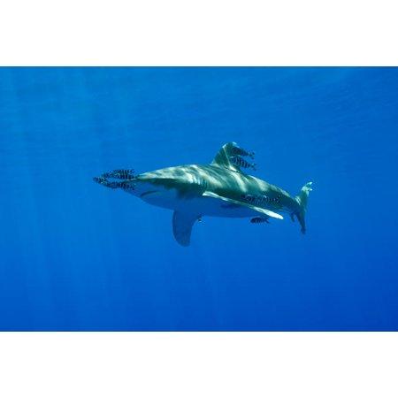 Pilot fish swiming with an oceanic whitetip shark Red Sea Egypt Poster Print by VWPicsStocktrek Images