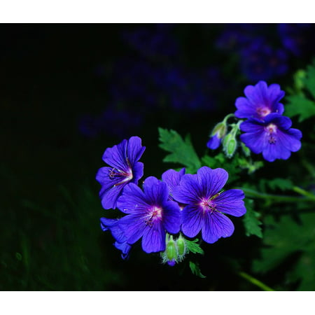LAMINATED POSTER Flower Garden Bloom Blossom Blue At Night Flower Poster Print 24 x (A Flower That Only Blooms At Night)