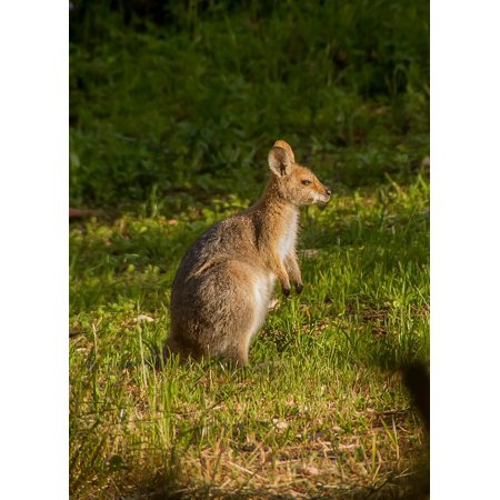 LAMINATED POSTER Grass Wallaby Rednecked Wallaby Joey Sunny Young Poster Print 24 x - P Sherman 24 Wallaby Sydney