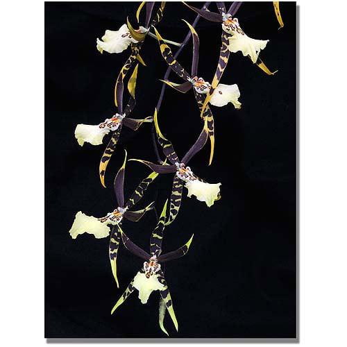 "Trademark Art ""Spider Orchid on Black"" Canvas Art by Kurt Shaffer"