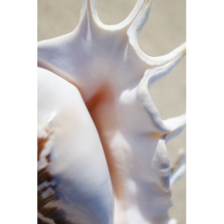 Close-Up Of Spider Conch Shell (Lambis Lambis) Stretched Canvas - Mary Van de Ven  Design Pics (11 x 17)