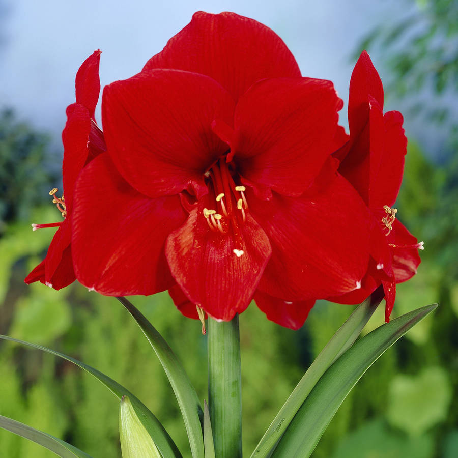 EuroBlooms Amaryllis Value 3-Pack Ferrari with Pots and Soil