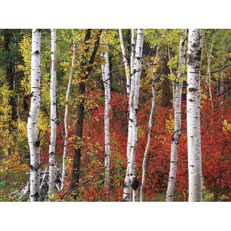 Custer State Park Black Hills - Trees in Autumn, Black Hill Area, Custer State Park, South Dakota, USA Print Wall Art By Walter Bibikow