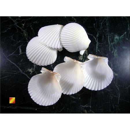 Set of 12 White Gulf Scallop Shells (about 2