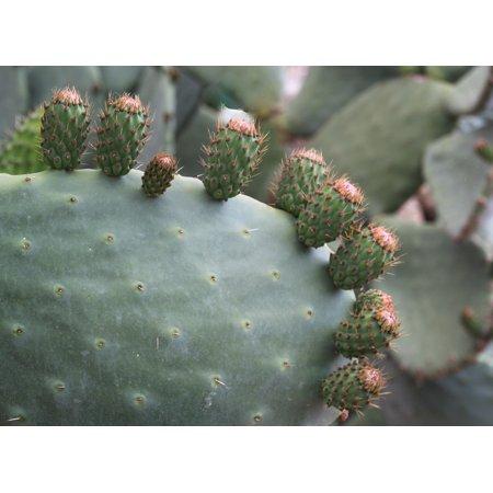 Laminated Poster Cactus Cactus Stem Prickly Pear Flower Spur Poster Print 11 x 17