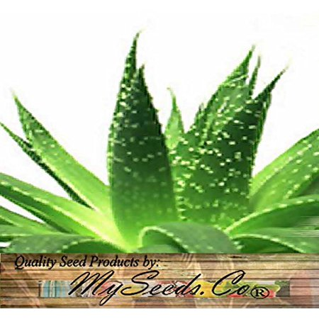 Image of 20 x Aloe Seeds Mix - Excellent House Plants succulent For Greenhouse Indoor home - Includes ALOE VERA - By MySeeds.Co