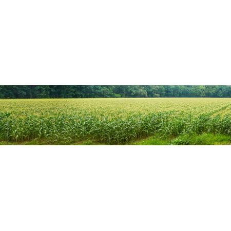 Cornfield Cuyahoga Valley National Park Cuyahoga County Ohio Usa Canvas Art   Panoramic Images  27 X 9