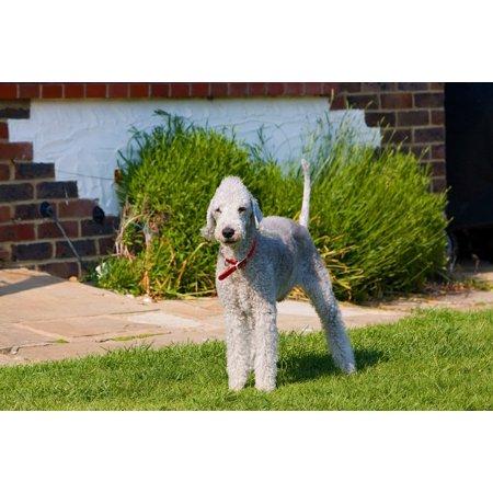 Canvas Print Terrier Dog Canine Bedlington Terrier Bedlington Stretched Canvas 10 x 14 (Bedlington Terrier Dog)