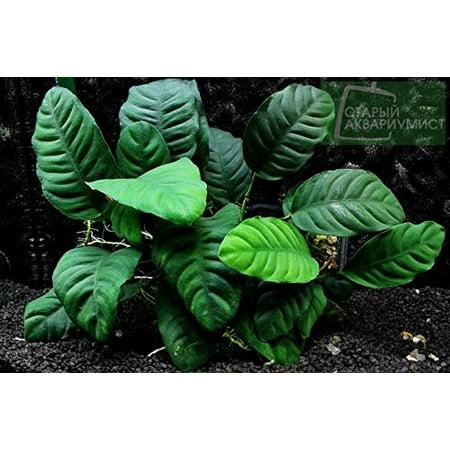 - Potted Anubias Coffeefolia Aquarium Plant