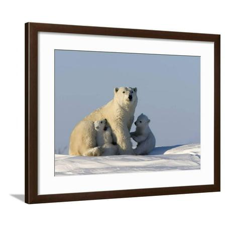 Churchill Clock - Polar Bear with Cubs, (Ursus Maritimus), Churchill, Manitoba, Canada Framed Print Wall Art By Thorsten Milse