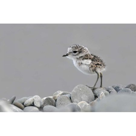 double banded plover newly hatched chick lake ellesmere new zealand