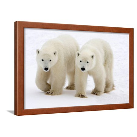 Adolescent Art (Pair of Adolescent Polar Bear Cubs Framed Print Wall Art By Howard)