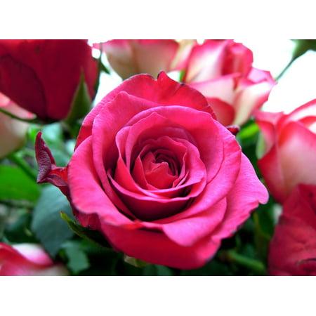 Framed Art For Your Wall Pink Flower Bloom Flower Petal Pink Rose Plant 10x13 Frame