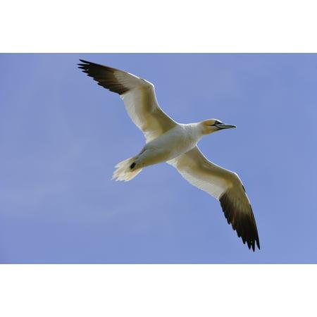 Gannet (Morus Bassanus) In Flight Cape St Marys Ecological Reserve Avalon Peninsula Newfoundland Stretched Canvas - Yves Marcoux  Design Pics (17 x 11) (Yves St Laurent Shoes)
