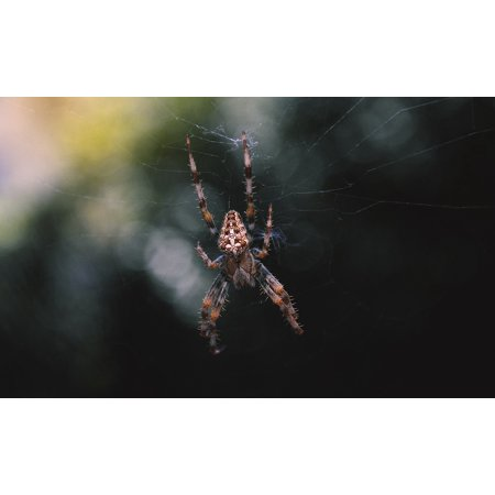 LAMINATED POSTER Color Close Dark Spider Arachnid Cross Insect Poster Print 24 x 36