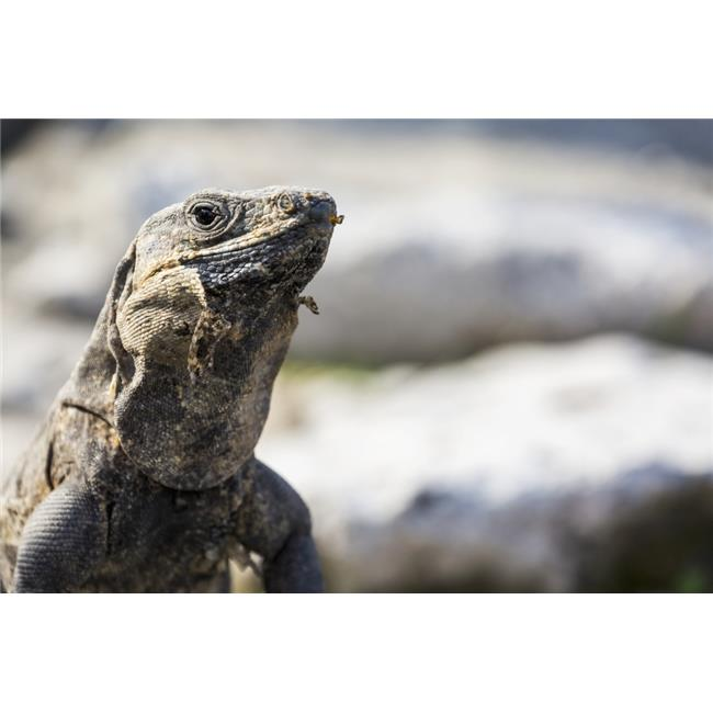 Posterazzi DPI12269298LARGE Close Up of A Lizard - Tulum Quintana Roo Mexico Poster Print - 38 x 24 in. - Large - image 1 de 1