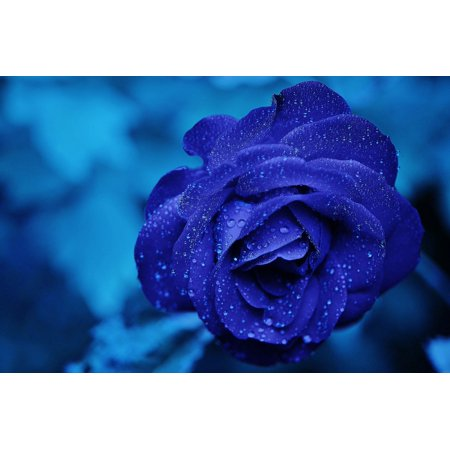 Laminated Poster Burgundy Rose Blooms Blue Love Rose Flower Roses Poster Print 24 x 36
