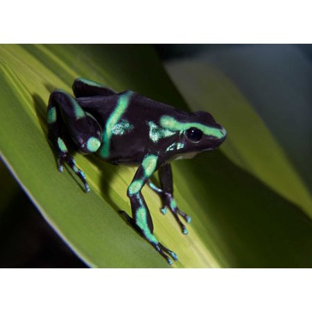 Green and Black Poison Dart Frog portrait Costa Rica Poster Print by Tim