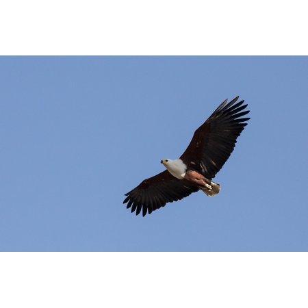 Peel-n-Stick Poster of Bird Soaring Flight Raptor Bald Eagle Flying Wild Poster Print 24x16 Adhesive Sticker Poster Print