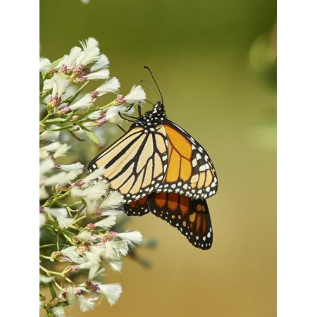 Monarch Butterfly Print Wall Art By Gary Carter