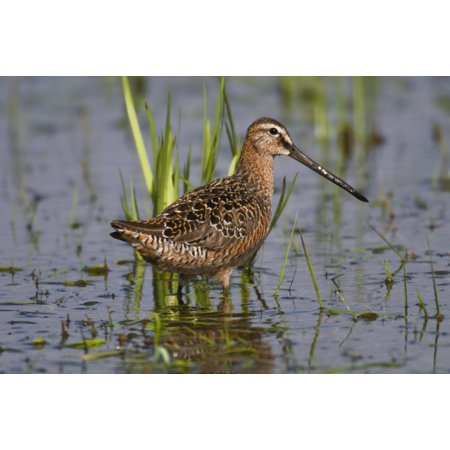 Long-Billed Dowitcher Stands In Marsh At Creamers Field Migratory Waterfowl Refuge Fairbanks Interior Alaska Summer Canvas Art - Kenneth Whitten  Design Pics (19 x 12) ()