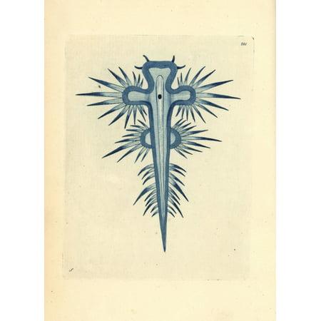 Florilegius   Mary Evans Stretched Canvas Art   Blue Sea Slug  Glaucus Atlanticus   Medium 18 X 24 Inch Wall Art Decor Size