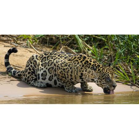 Brazil. A jaguar drinks along the banks of a river in the Pantanal. Print Wall Art By Ralph H. Bendjebar