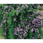 """Trailing Rosemary Herb Plant - Non-GMO - Two (2) Live Plants - Not Seeds - Each 3""""-7"""" Tall - In 3.5 Inch Pots - Prostrate Creeping Rosemary"""