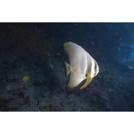 Longfin Spadefish Beqa Lagoon Fiji Canvas Art   Terry Moorestocktrek Images  35 X 23