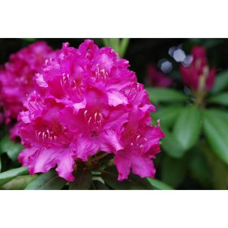 Broadleaf Flowering Shrub For Shade