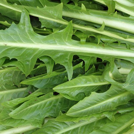 Italian Dandelion Herb Garden Seeds (Chicory) - 4 Oz - Non-GMO, Heirloom Herbal Gardening Seeds