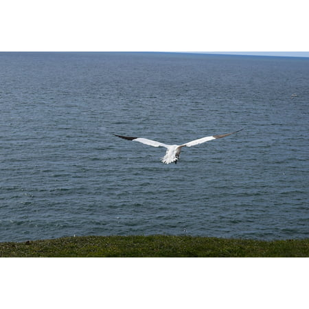 Canvas Print Northern Gannet North Sea Hatching Bird Helgoland Stretched Canvas 10 x 14