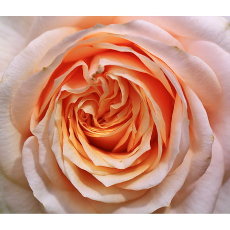 Peel n stick poster of bloom flower rose bloom roses for Rose adesive