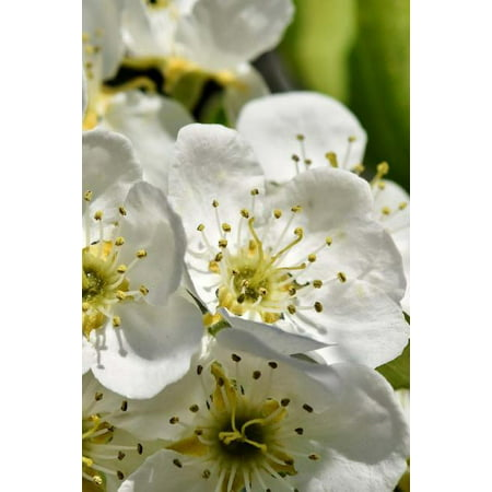 Apple Blossoms Notebook (Paperback)
