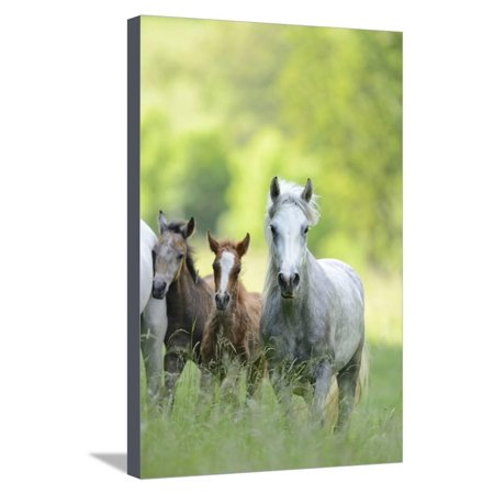Connemara Pony, Mare with Foal, Belt, Head-On, Running, Looking at Camera Stretched Canvas Print Wall Art By David & Micha