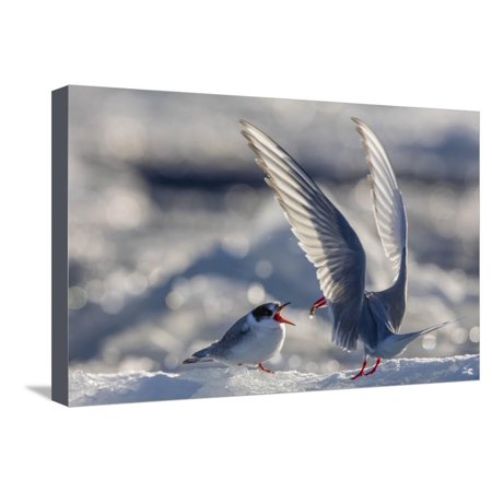 Norway, Svalbard, Spitsbergen. Arctic Tern Feeds Baby on ...