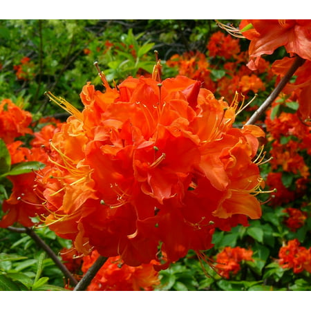Mandarin Lights Orange Deciduous Azalea - Live Plant - ( TG