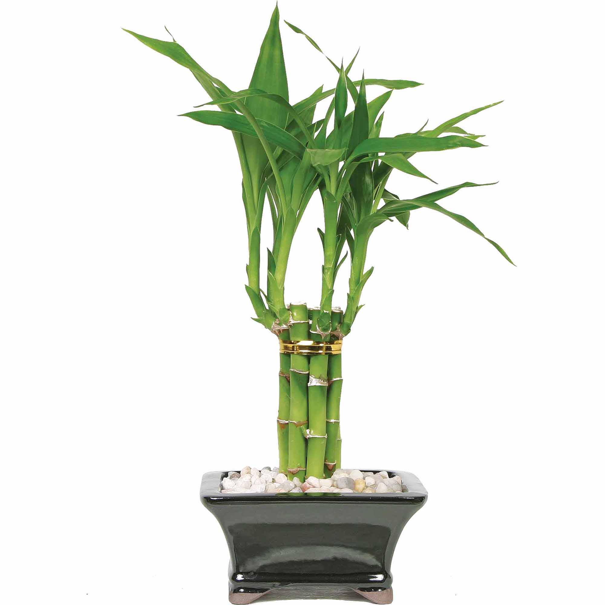 Lucky Bamboo Pyramid, 1 Tier
