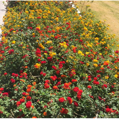 Lantana Mix, 3 separate plants, in 3 separate 4 inch (Mixed Pot)