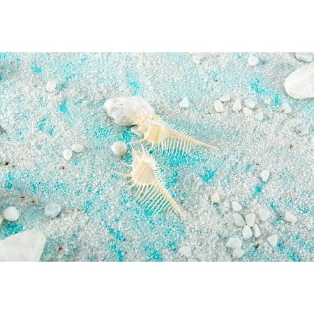 Murex Shell - Murex Shells (2Pcs) - Snipes Bill Murex Seashells - Seashells - Seashell Supply - Craft Seashells- Beach Wedding - Coastal Home Decor -Nautical
