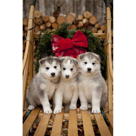 Design Pics DPI2097570 Siberian Husky Puppies in Traditional Wooden Dog Sled with Christmas Wreath Alaska Poster Print, 11 x 17 ()