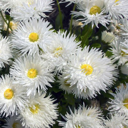 Shasta Daisy Flower Seeds - Crazy Daisy Variety - 1000 Seeds - White Curled Blooms, Yellow Centers - Leucanthemum x superbum - Perennial Daisies