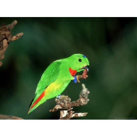 Blue-Crowned Hanging Parrot, Male Eating, Zoo Animal Print Wall Art By Stan
