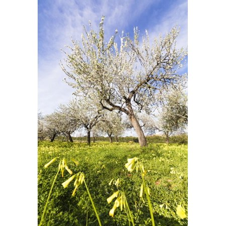 Blossoming Almond Trees on a Flower Meadow with Blue Sky, Surface Level, Santa Maria Del Cami Print Wall Art By P. Kaczynski