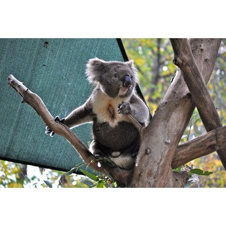 Canvas Print Eucalyptus Bear Mammal Zoo Koala Australian Stretched Canvas 10 x 14